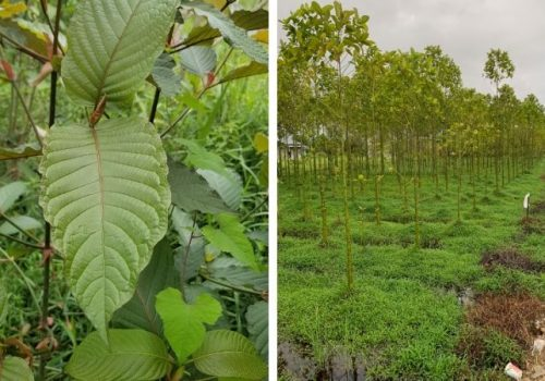 Are You Really At Kratom Leaf? Here Is A Fast Quiz To Find Out